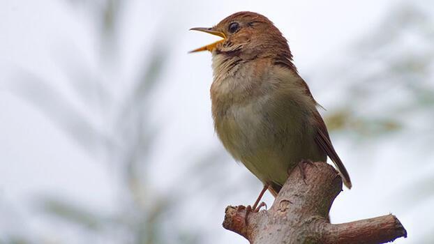 En güzel sesli hayvanlar hangileridir?