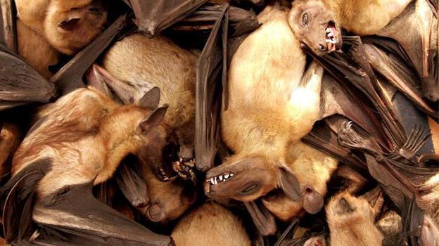 Soyu tükenmiş bir dev vampir yarasaya dair kalıntılar bulundu
