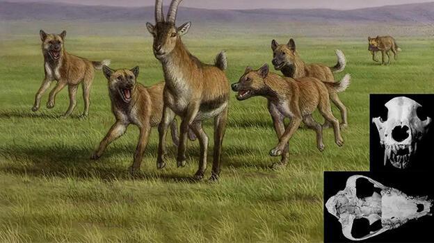 İlk insanların vahşi köpeklerden yemek çaldığı ortaya çıktı!