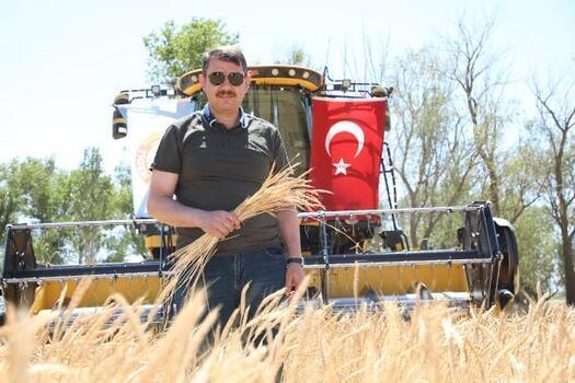Sivas'ta zeron buğdayı hasadı yapıldı