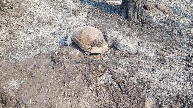 Ağaç kovuğuna giren kaplumbağa yangından kurtuldu