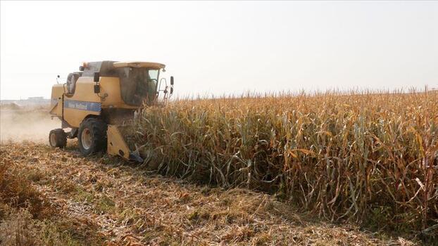 Çukurova'da mısır hasadına başlandı