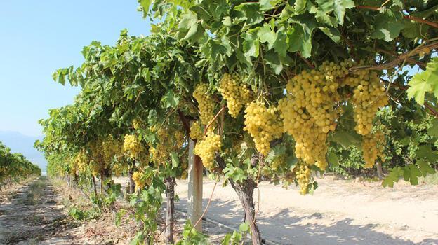 Sultaniye üzümünde hasat başladı