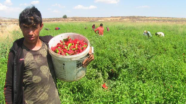 Araban Ovası'nda kırmızı biber hasadı başladı
