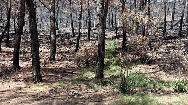 Marmaris'te yanan ormanlar yeniden yeşeriyor