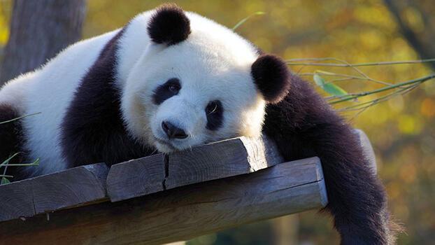 Pandalar hakkında 10 gerçek