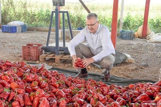 Karacabey'de kırmızı biber üreticileri piyasadan memnun