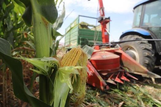 Gürpınar'da silajlık mısır hasadına başlandı