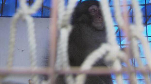 Havalimanındaki vahşi maymun beş saatte yakalandı