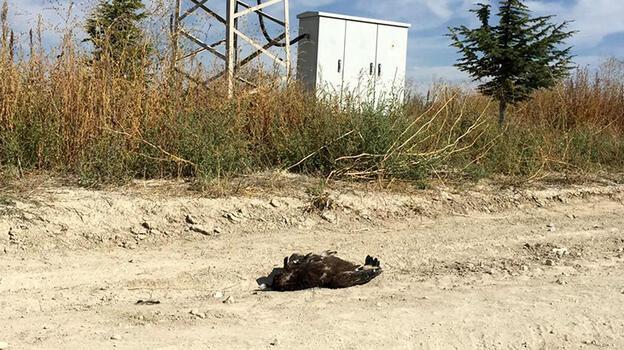 Bulgaristan'da verici takılan kartal, Konya'da ölü bulundu