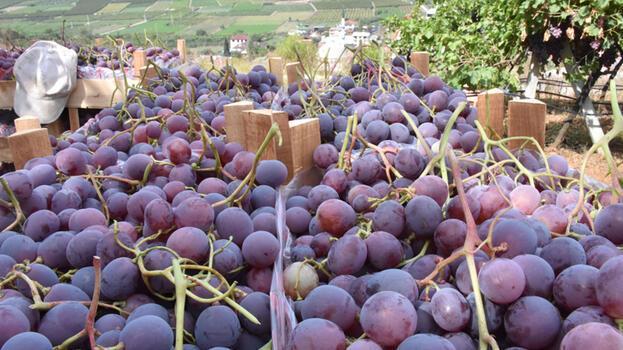 Bilecik'te yetiştirilen 'Red Globe' cinsi üzümler ihracata hazırlanıyor