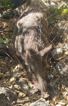 Gercüş'te köylüler, bahçelerine zarar veren 4 yaban domuzunu öldürdü