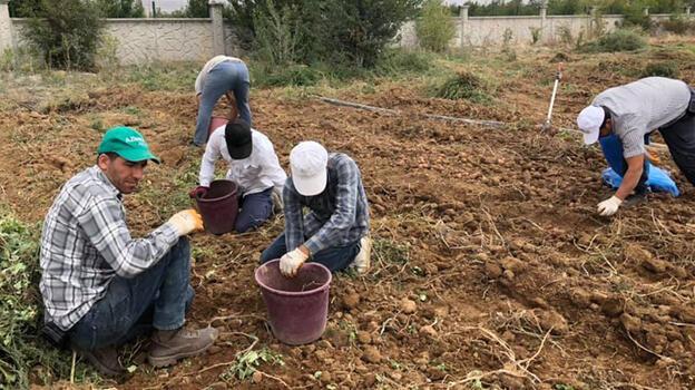 Yerli patates çeşitlerinde hasat dönemi