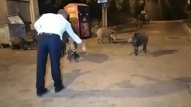 Şehre inen yaban domuzlarını elleriyle beslediler