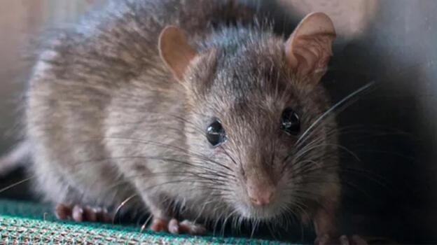 Tuvaletlerden 'kedi büyüklüğünde' fareler çıkıyor!