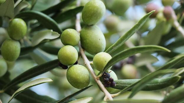 Kilis zeytininde rekolte düşük, yağın kalitesi yüksek