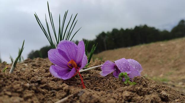 Kilosu 60 bin liraya satılan safranın hasadına başlandı