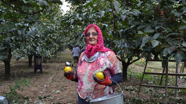 Yalova'da cennet hurması bahçelerinde hasat başladı