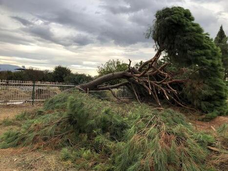 Biriken yağmur sularına dayanamayan 30 yıllık ağaç devrildi
