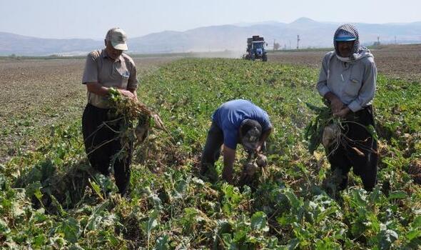 Gaziantep'te şeker pancarında 110 bin ton rekolte beklentisi