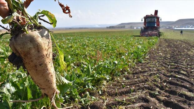 Muş'ta pancar üretiminden ekonomiye 450 milyon lira katkı bekleniyor