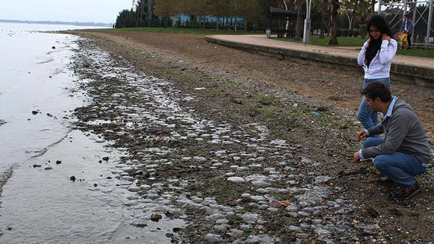 İzmit Körfezi'nde binlerce ölü denizanası kıyıya vurdu