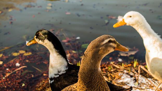Türkiye için çanlar çalıyor! Bu kuşları artık hiç göremeyebiliriz...