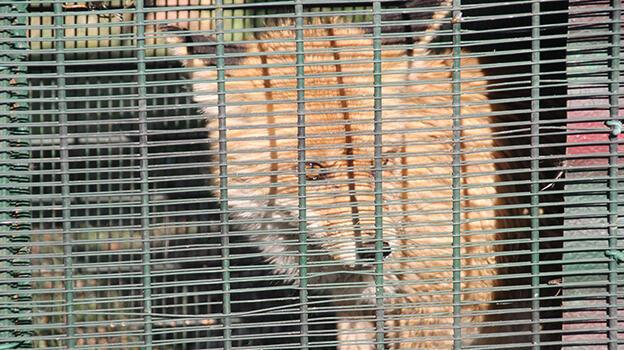 Bahçesine giren tilkiyi besleyerek doğaya bıraktı