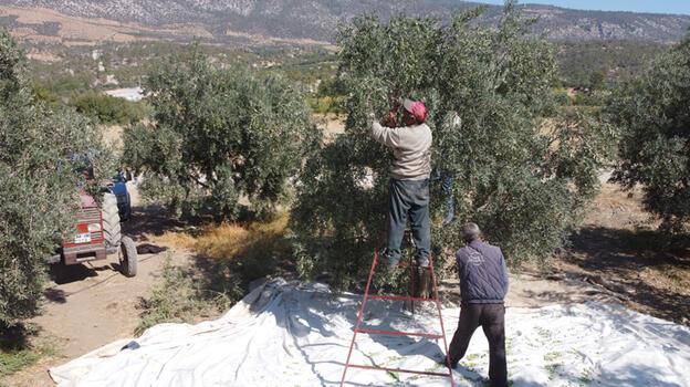 Karaman'da hedef zeytin ve zeytinyağı üretiminde marka olmak
