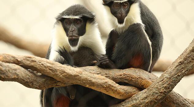 """Koruma altındaki """"dünyanın en yaşlı Diana maymunu"""" öldü"""