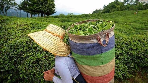 ÇAYKUR tarihinin en yüksek rakamına ulaşarak yaş çay alımını sonlandırdı