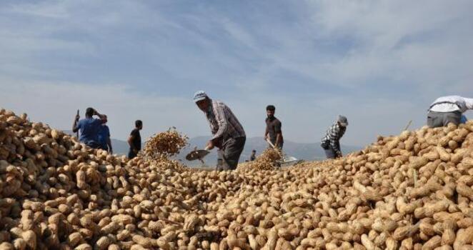 İslahiye ve Nurdağı'nda 15 bin dekarda yer fıstığı hasadı
