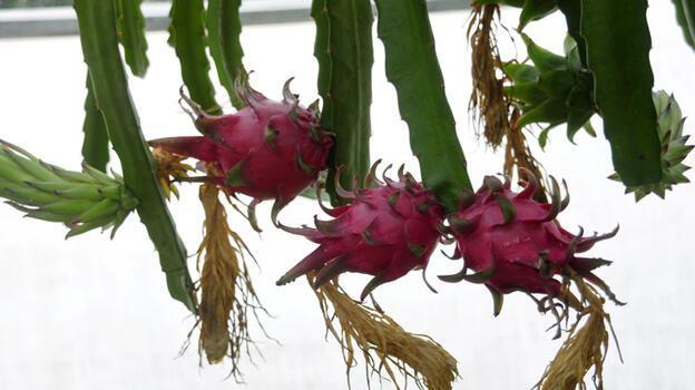 Narenciye bahçeleri ejder meyvesi serasına dönüşüyor