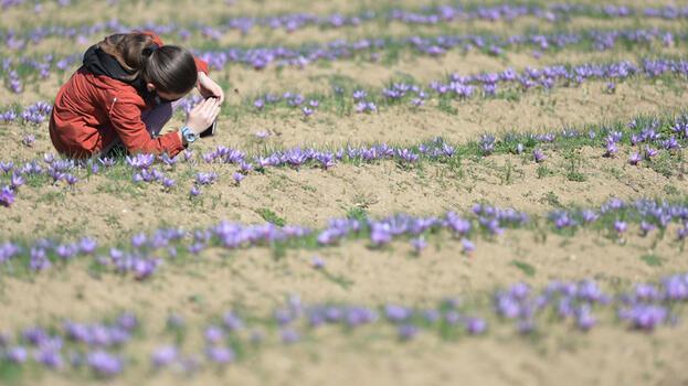 Karabük'te safran üretimi artırılacak