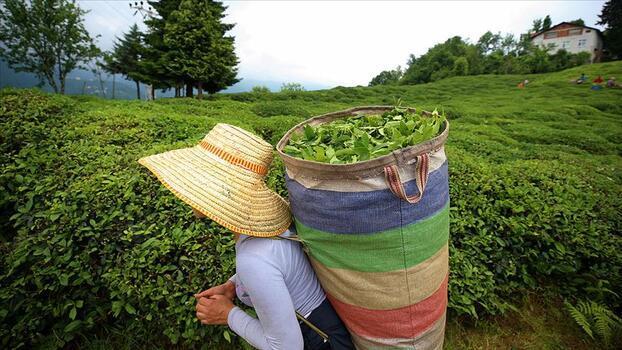 ÇAYKUR 860 bin yaş çay aldı
