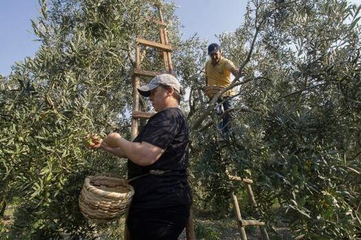 Zeytin üreticileri hasat için işçi bulamıyor