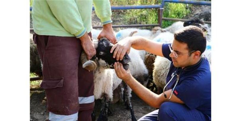Sakız Koyunundan Sonra Şimdi De Çine Çaparı Koyununa Sahip Çıkıldı