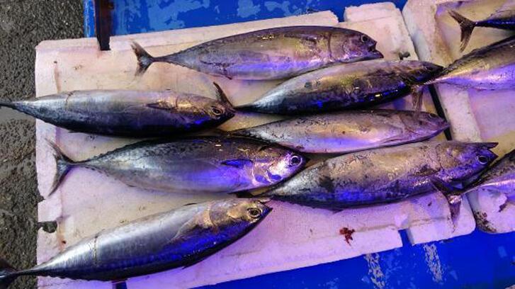 Balıkçıların palamut oyunu: 'Tombik' çıktı