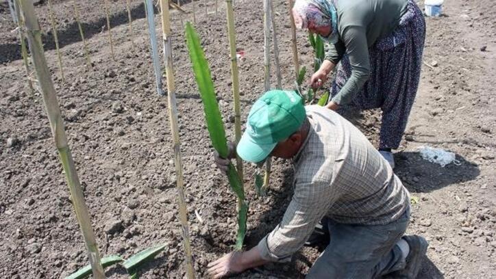 Osmaniye'de, tropik meyve 'pitaya' dikimi yapıldı