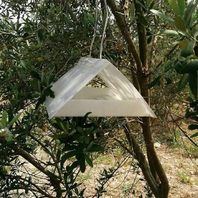 Osmaniye'de zeytin sineği için izleme tuzakları kuruldu