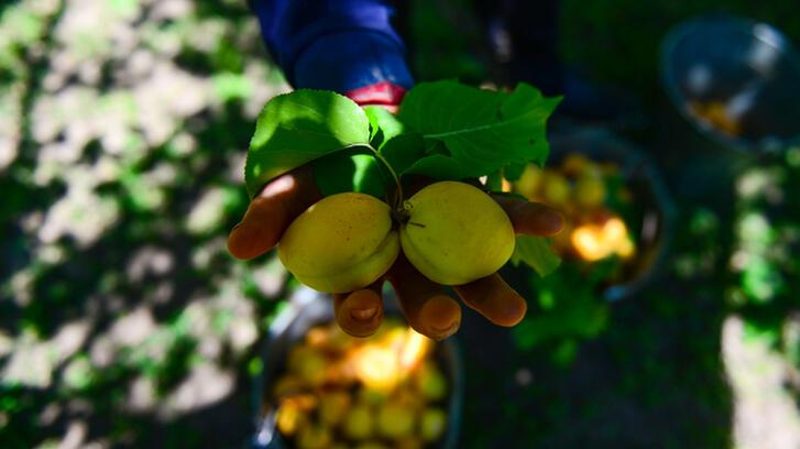 Iğdır kayısısı mevsimlik işçilere emanet