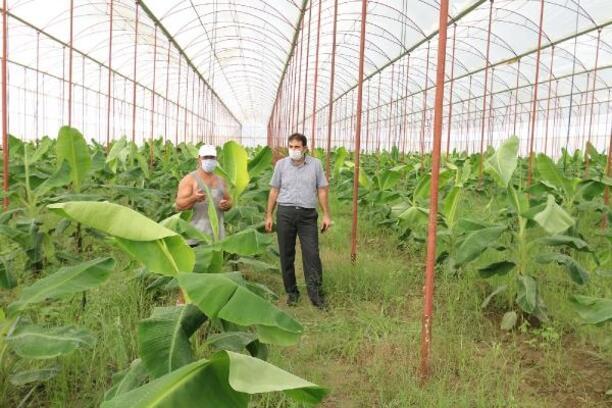 Osmaniye'de örtü altı muz üretim alanları artıyor
