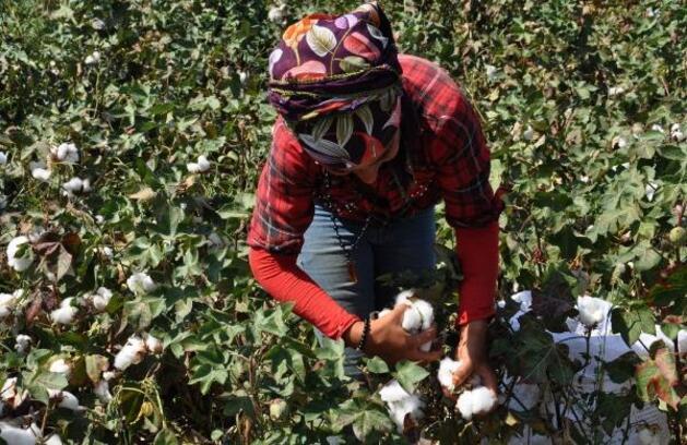 İslahiye ve Nurdağı'nda pamuk hasadı başladı