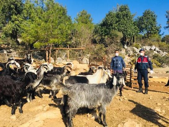 Kayıp keçiler 5 kilometre uzakta bulundu