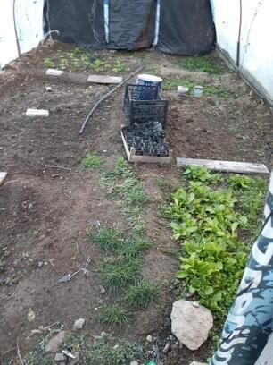 Evinin bahçesinde kenevir yetiştiren şüpheliye gözaltı