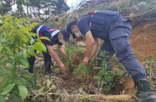 Evin bahçesinde ele geçirilen 50 kök Hint keneviri imha edildi