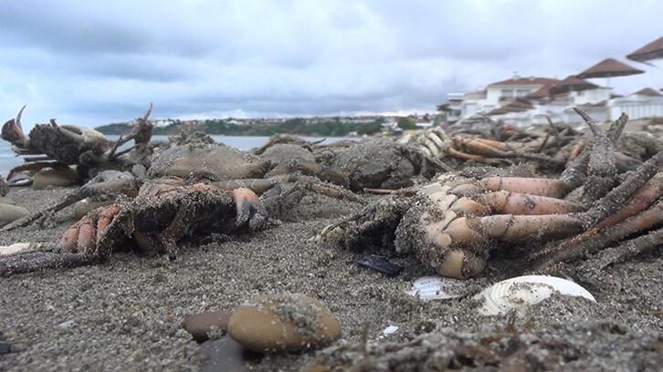 Silivri'de korkutan görüntü! Sahile onlarca ölü yengeç vurdu