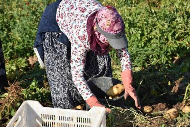 Altunhisar'da turfanda patates hasadı başladı