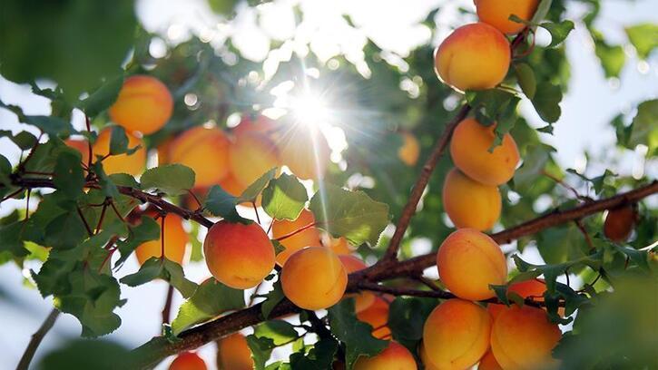 Malatya'dan Avrupa'ya organik kayısı ihracatı