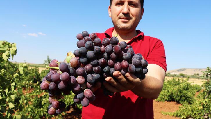 'Horoz karası' üzümü kuraklığa rağmen verimiyle üreticisini sevindirdi